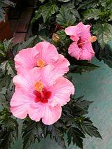 20060602ハイビスカスピンク色の花