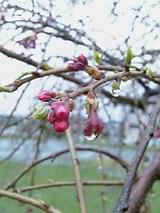 20060420桜のつぼみが泣いてます