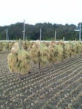 20050917手による稲刈り