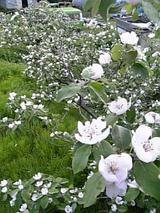 20060525カリンの花
