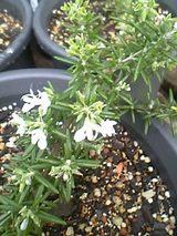 20050825ローズマリー花