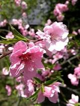 20060509桃の花