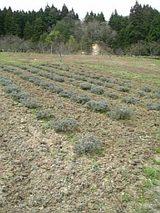 20060430ラベンダー畑3