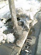 20060225歩道のラベンダー