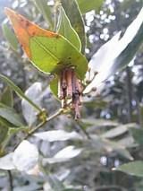 20060409月桂樹と冬ごもりの虫さん