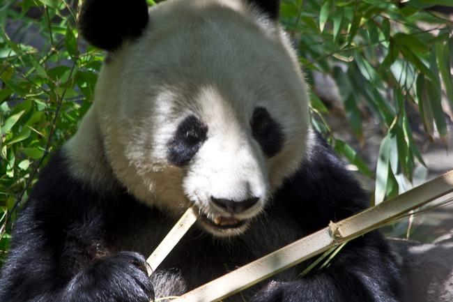 panda-bear-1372644379YBy