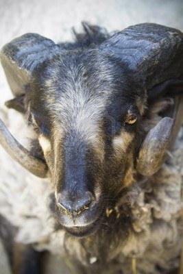 14845745-black-goat-with-big-horns