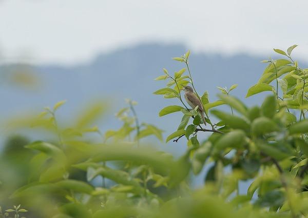 オオヨシキリ (5)