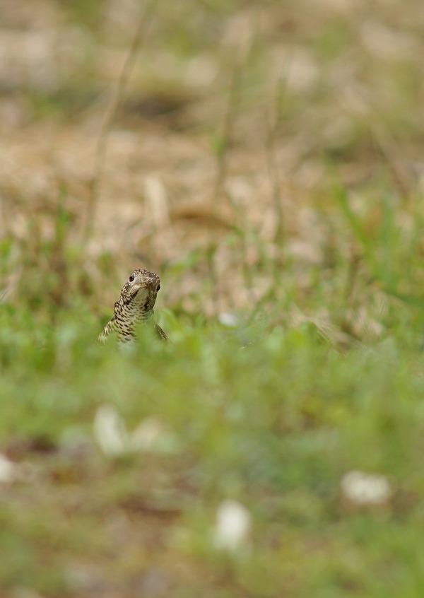 トラツグミ (4)