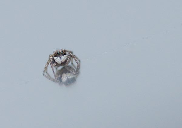 シラホシコゲチャハエトリ (7)