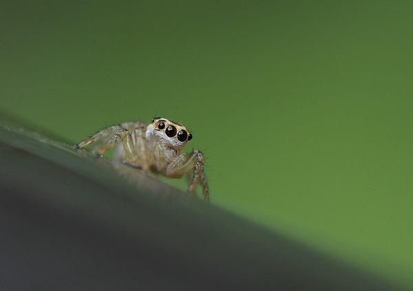 デーニッツハエトリ幼体 (5)