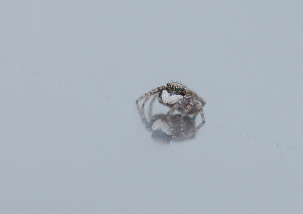 シラホシコゲチャハエトリ (6)
