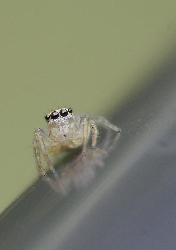 ハエトリグモ幼体 (18)