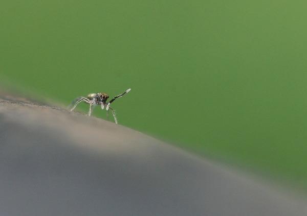 アオオビハエトリ幼体 (1)