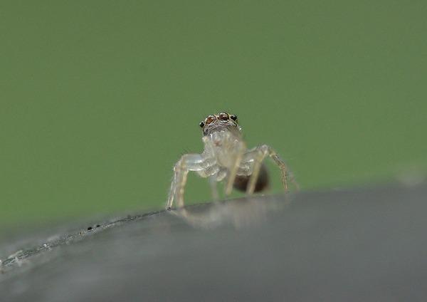 デーニッツハエトリ幼体 (10)