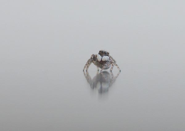 シラホシコゲチャハエトリ (2)