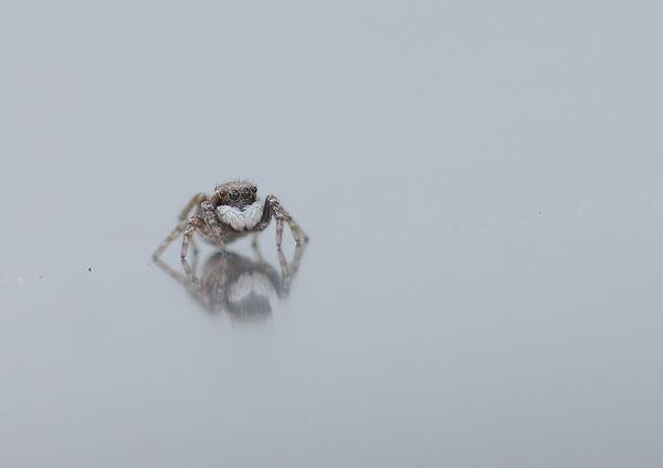 シラホシコゲチャハエトリ (5)