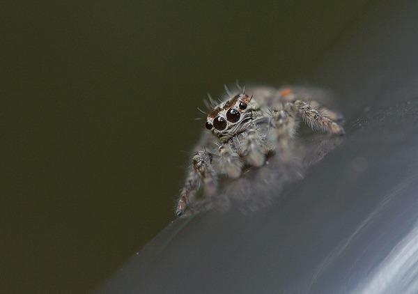 アシブトハエトリ雌 (5)