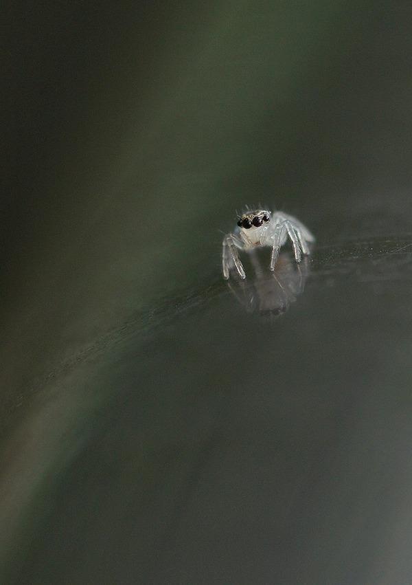 ハエトリグモ幼体 (8)