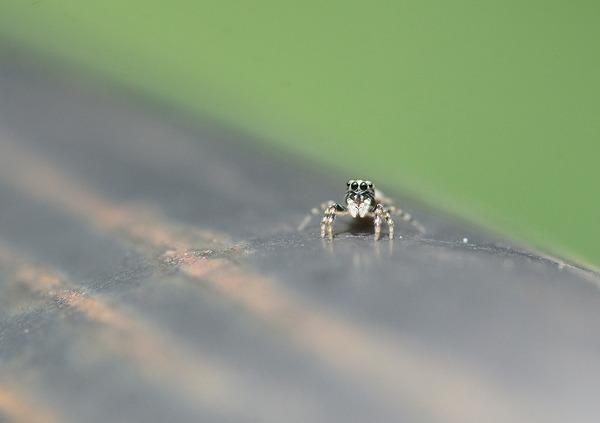 アシブトハエトリ幼体 (2)