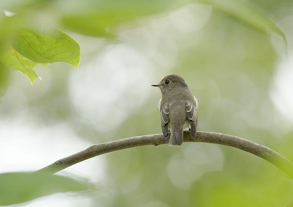 コサメビタキ (3)