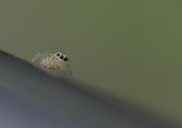 デーニッツハエトリ幼体 (9)