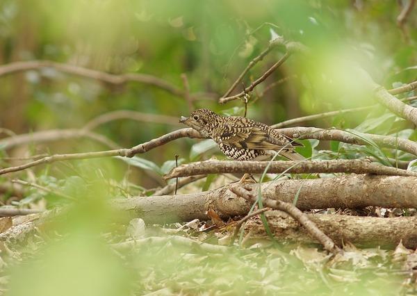 トラツグミ (2)