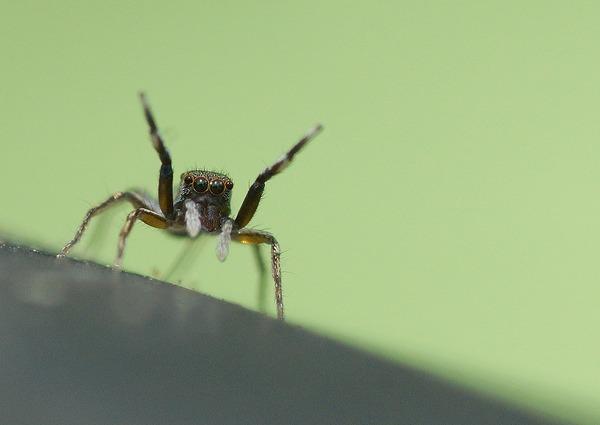 アオオビハエトリ幼体 (3)