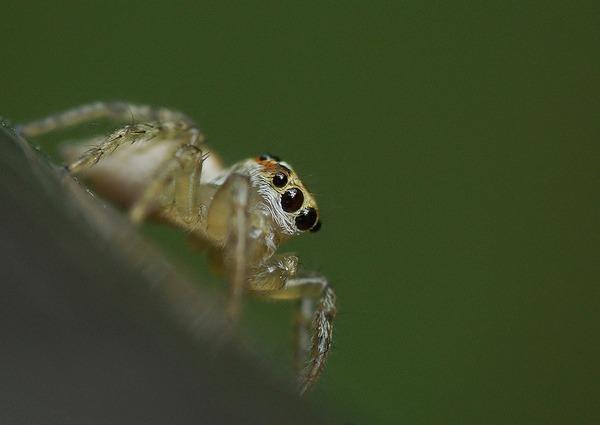 デーニッツハエトリ幼体 (4)