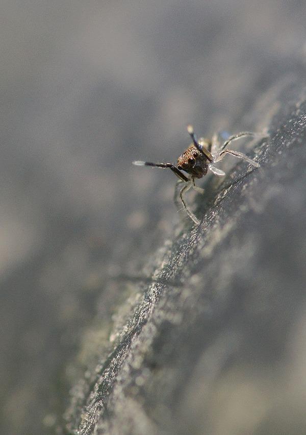 アオオビハエトリ幼体 (6)