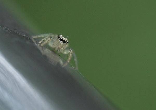デーニッツハエトリ幼体 (8)