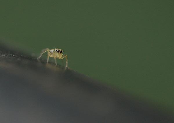 ハエトリグモ (1)
