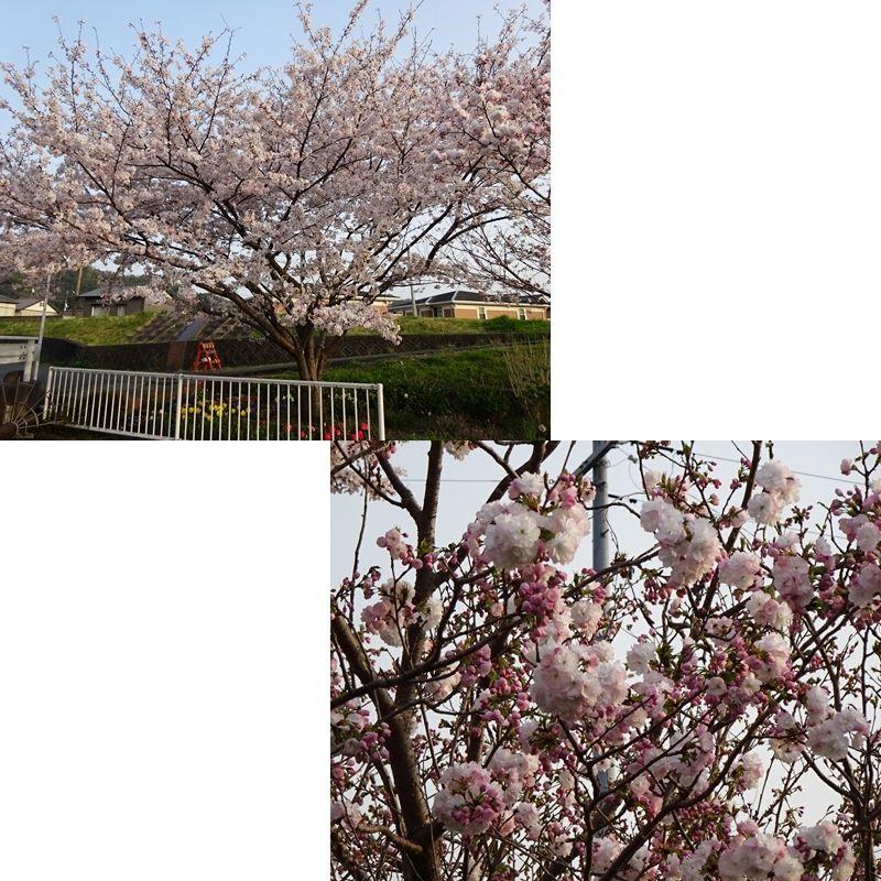 ソメイヨシノと八重桜