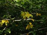 白樺の黄葉