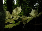 コシアブラの白葉