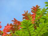山漆の紅葉