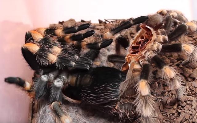 【HD動画】 20倍速で見るタランチュラの脱皮
