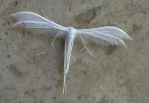 ホワイトプルームモス