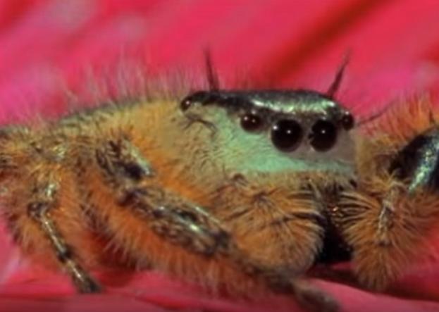 ハエトリグモはこうやって捕まえる!驚異的なジャンプでミツバチを捕獲