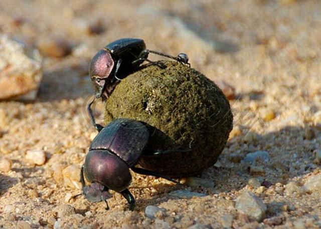 世界一の力持ちな昆虫はフンコロガシと研究結果