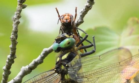 オニヤンマのスズメバチ捕食