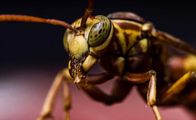 スズメバチたちの凶悪マクロ画像集