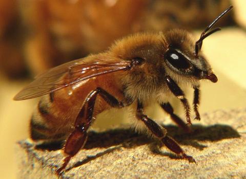 「キラービー」と恐れられるアフリカミツバチが超危険 アメリカで死者1000人以上