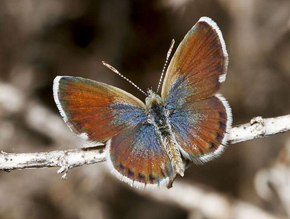 """世界一小さいチョウ""""コビトシジミ""""は羽を広げても2cmにも満たないほど小さい"""