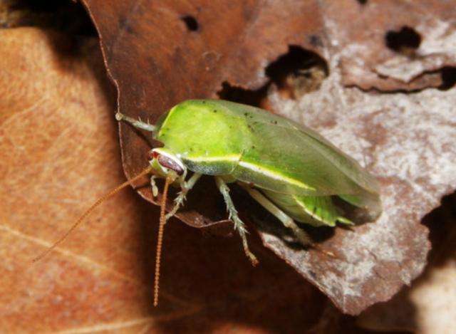 """美しいゴキブリ!? 緑色の""""グリーンバナナローチ"""""""