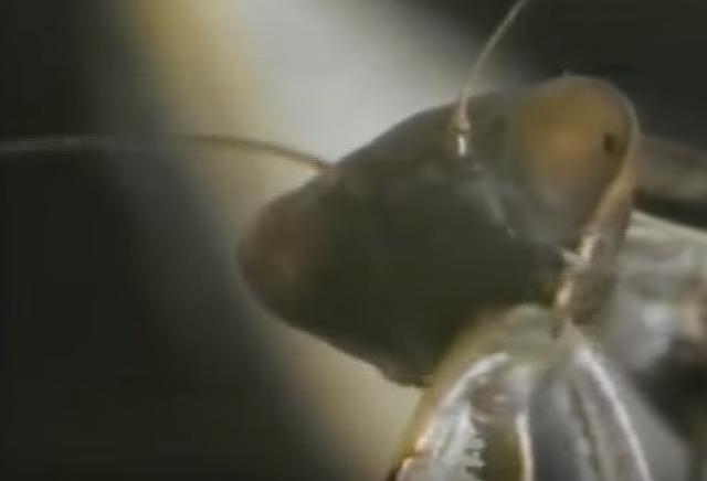 草原の暗殺者 カマキリがサソリを捕食!