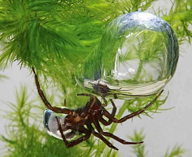 """世界で唯一水中生活をするクモ """"ミズグモ"""""""