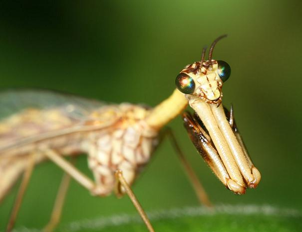 カマキリモドキはどちらかというとカマキリよりスズメバチを意識しているらしい