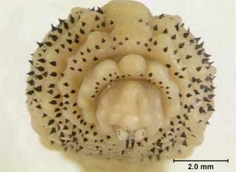 ヒトヒフバエの幼虫