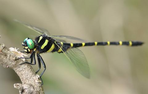 【日本最大】 世界最高の飛行性能でスズメバチをも捕食してしまうオニヤンマ